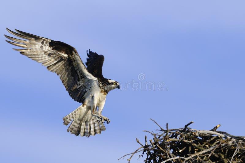 osprey di atterraggio fotografia stock