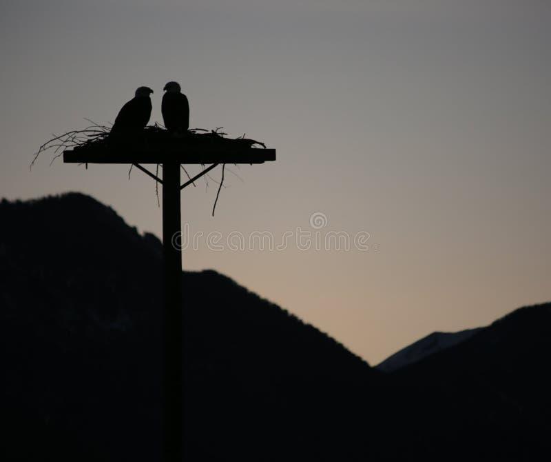 Osprey di incastramento immagini stock