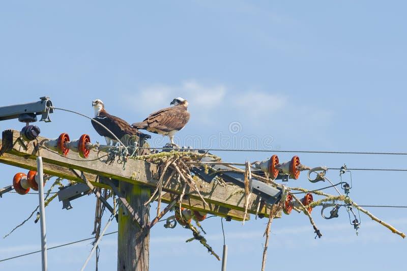 Osprey di incastramento fotografie stock