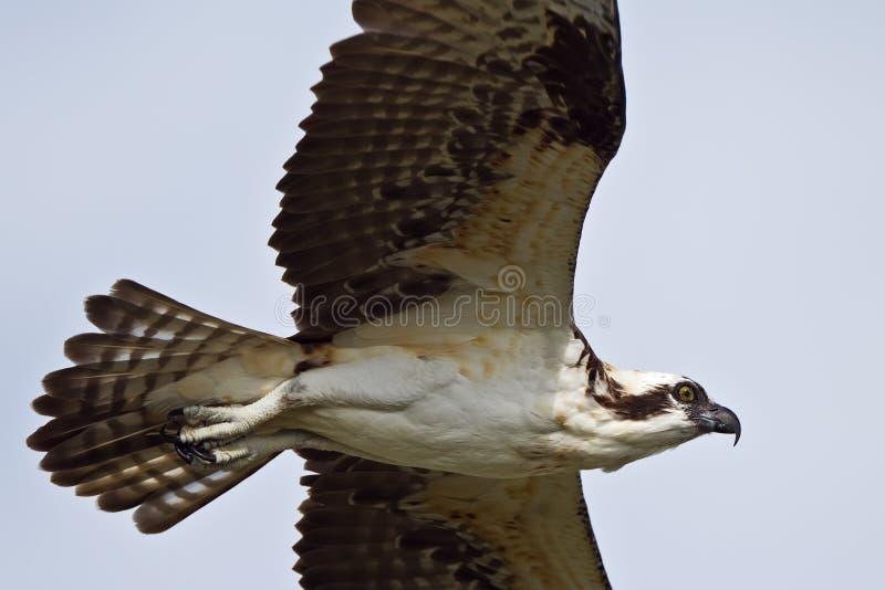 Osprey di volo immagini stock libere da diritti