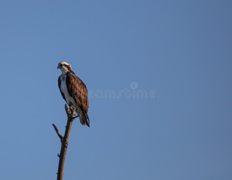 Osprey in een boom royalty-vrije stock fotografie
