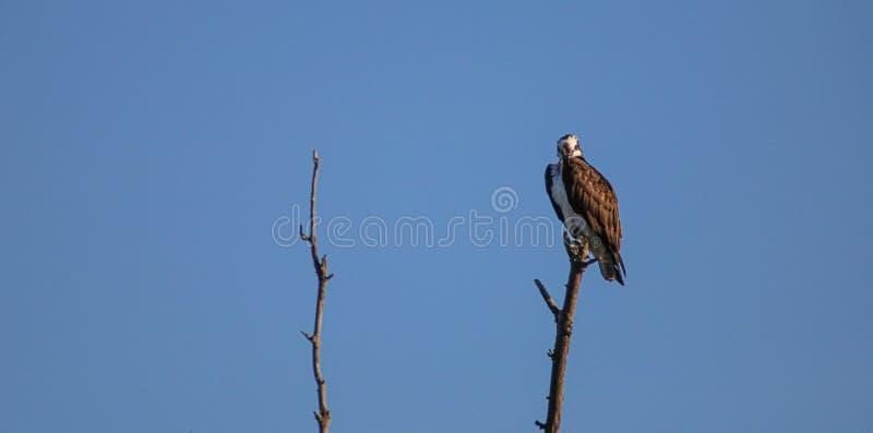 Osprey in een boom royalty-vrije stock foto's