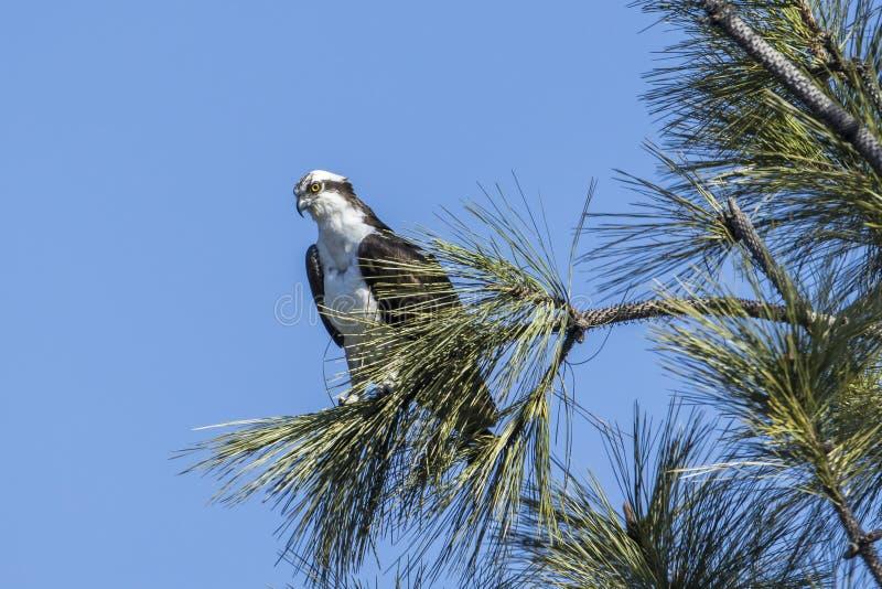 Osprey in een boom royalty-vrije stock afbeeldingen