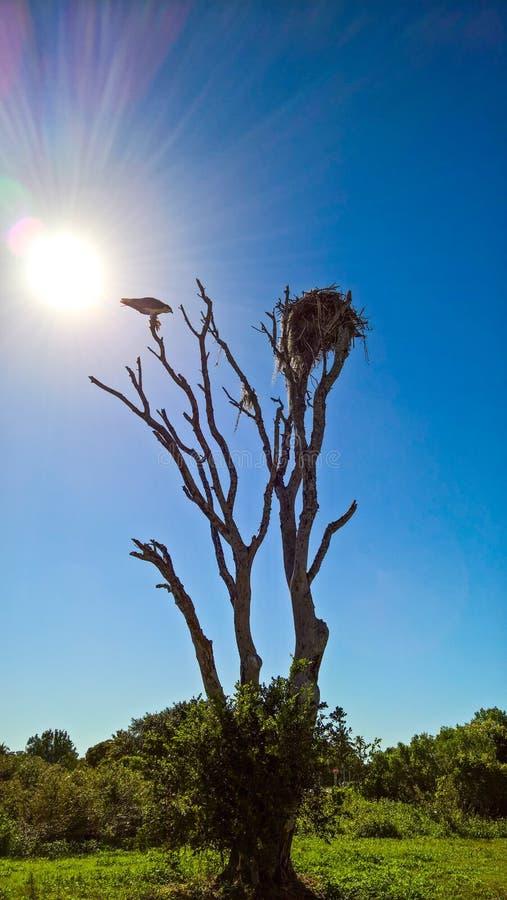 Osprey in einem Baum stockfoto