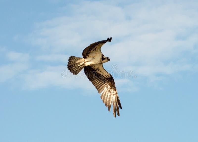 osprey A elevação crescente procura dentro o alimento foto de stock royalty free