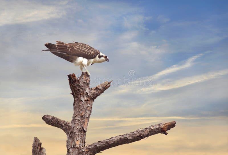 Osprey empoleirado em uma árvore no nascer do sol imagens de stock royalty free