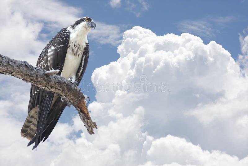 Osprey empoleirado no membro de árvore com nuvens imagem de stock