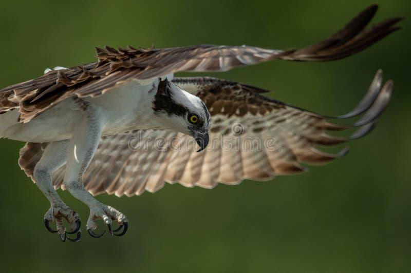Osprey en la Florida fotos de archivo
