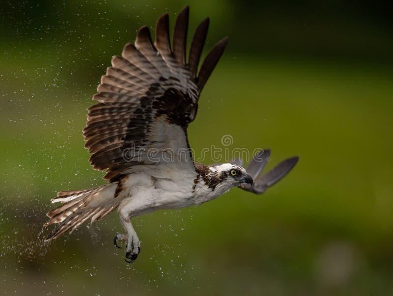 Osprey en la Florida foto de archivo libre de regalías