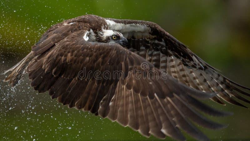 Osprey en la Florida foto de archivo