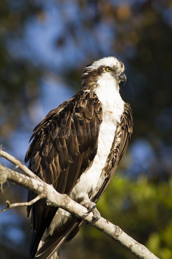 Osprey en los marismas fotografía de archivo libre de regalías