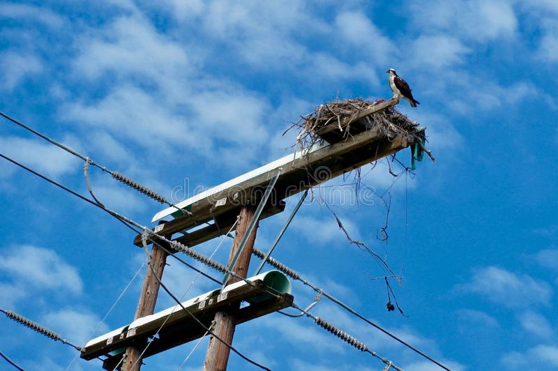 Osprey en su jerarqu?a foto de archivo