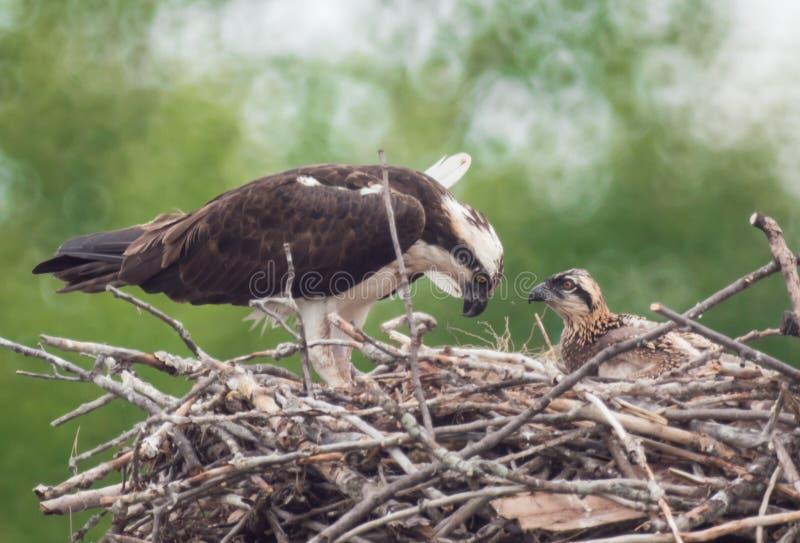 Osprey en su jerarquía con el bebé fotos de archivo