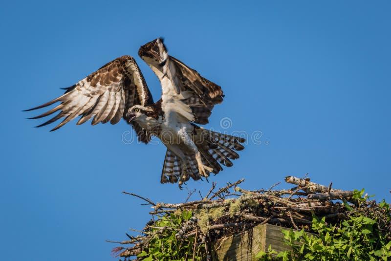 Osprey en una mañana clara del verano con los cielos azules que sacan de nidal imágenes de archivo libres de regalías