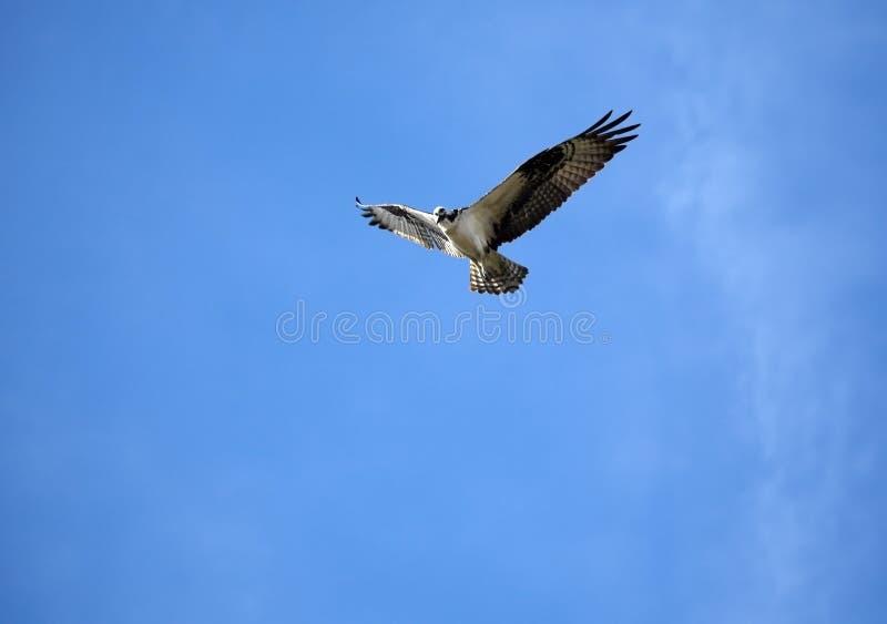 Osprey en vol photos libres de droits