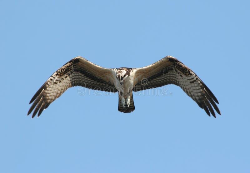 Osprey en vol images stock