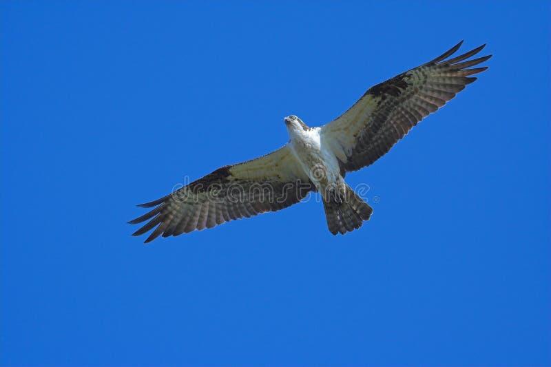 Download Osprey en vol image stock. Image du grace, ailes, rapide - 725733