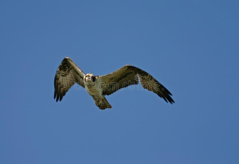 Osprey en vol photographie stock libre de droits