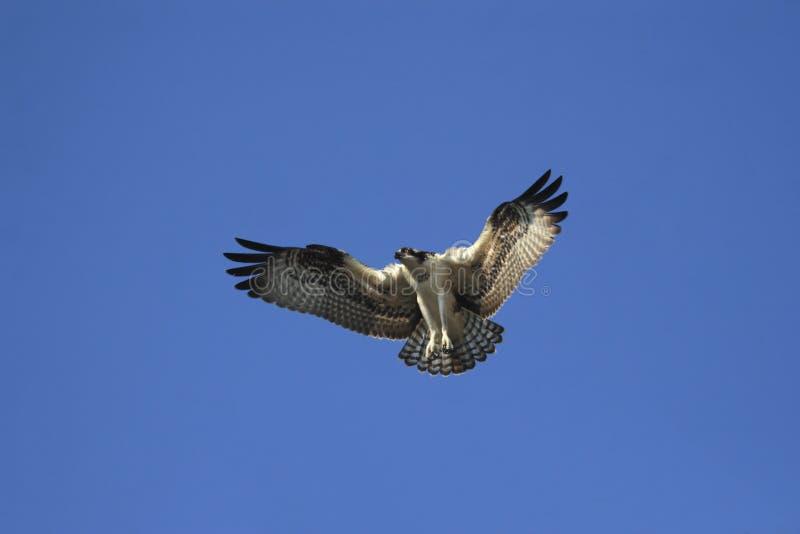 Osprey en vuelo foto de archivo libre de regalías
