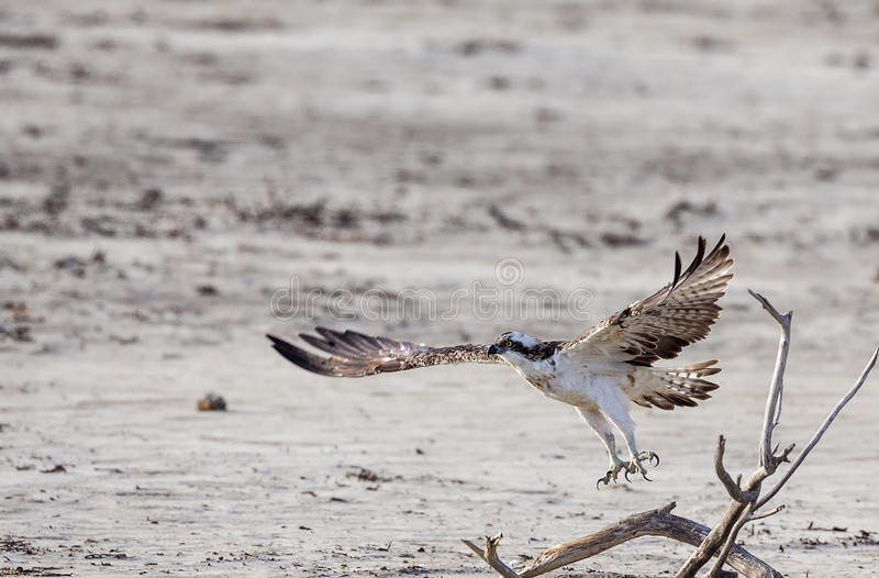 Osprey en vuelo imagen de archivo