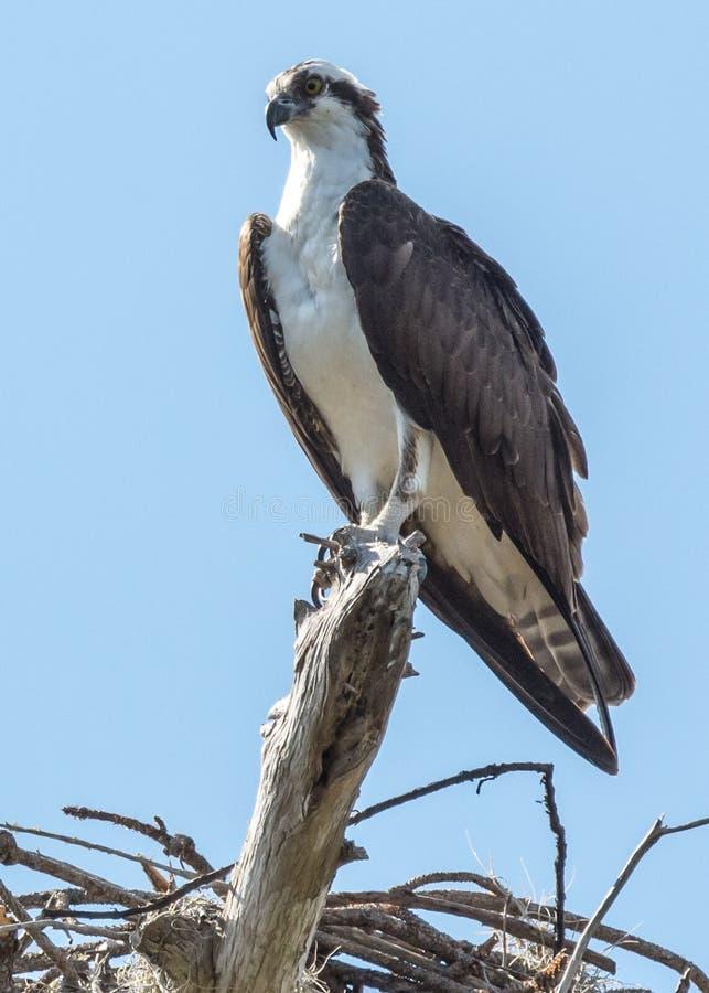 Osprey encaramado imagen de archivo