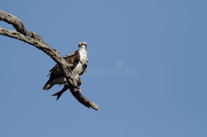 Osprey et poissons photographie stock libre de droits