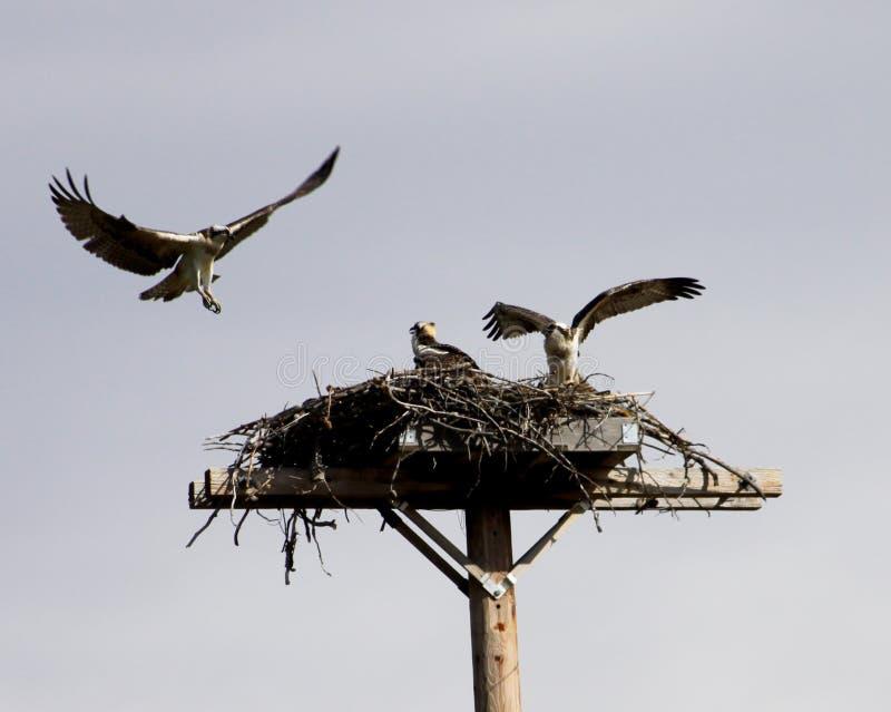 Osprey-Familie stockbilder