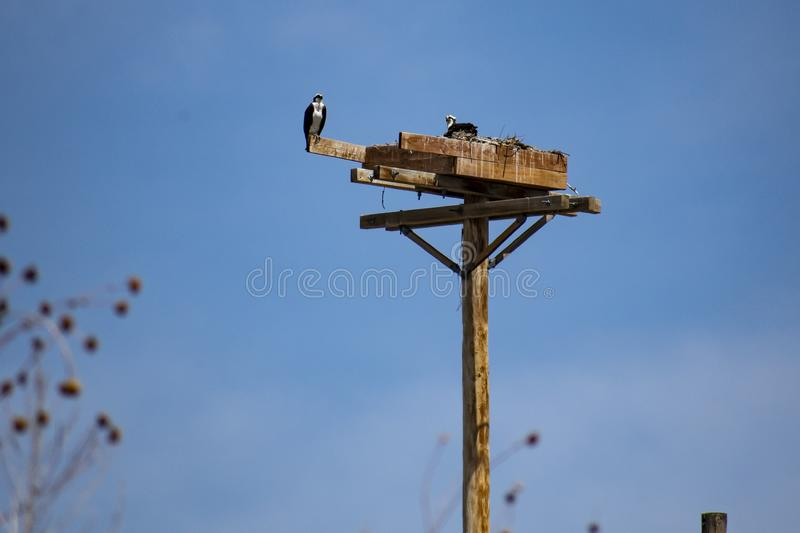 Osprey Family Nest. Taken near Lake Pueblo Colorado, early Spring. A pair of returning Osprey or Seahawks resting upon their nesting box. One of my favorite stock image