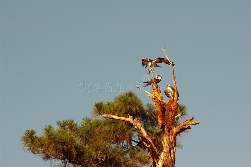 Download Osprey Feeding Young stock photo. Image of parks, gulf - 937894