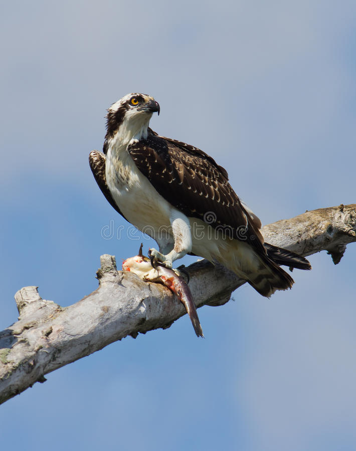 Osprey with fish. stock photo