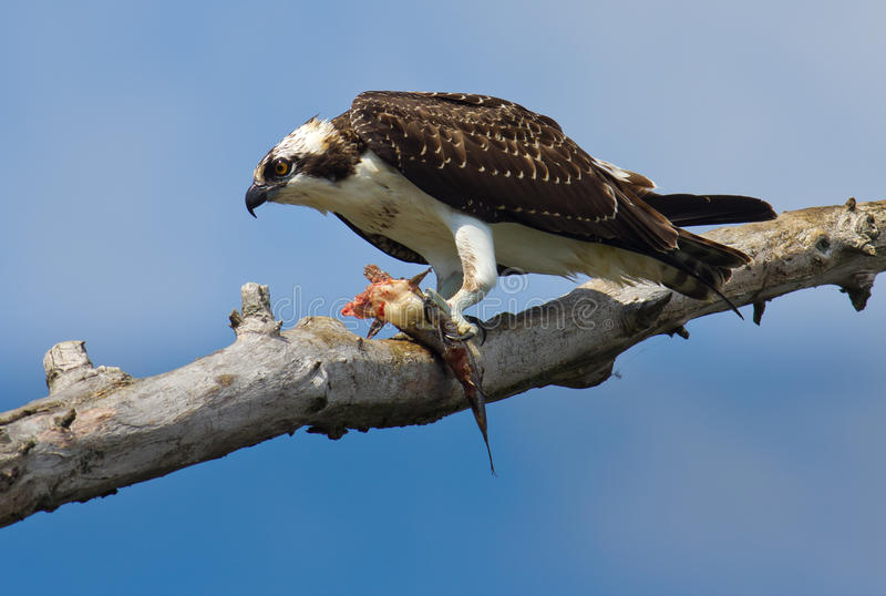 Download Osprey with fish. stock image. Image of outdoors, branch - 20882867