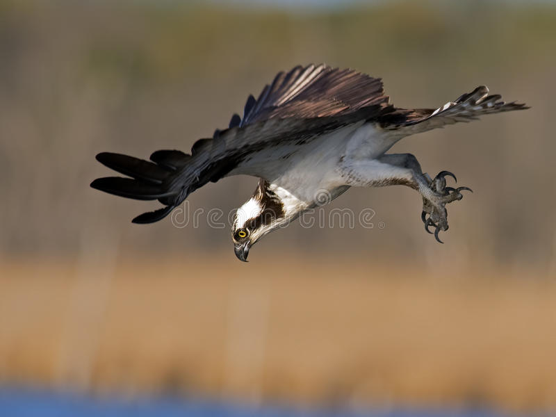 Osprey Fish Dive. Osprey in Mid Dive For Fish stock photography