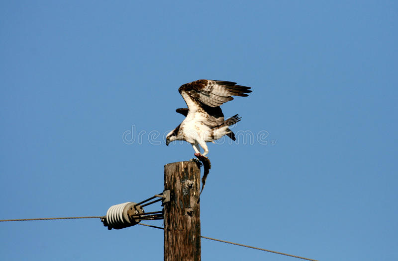 Download Osprey with fish on a post stock photo. Image of pandion - 26200226