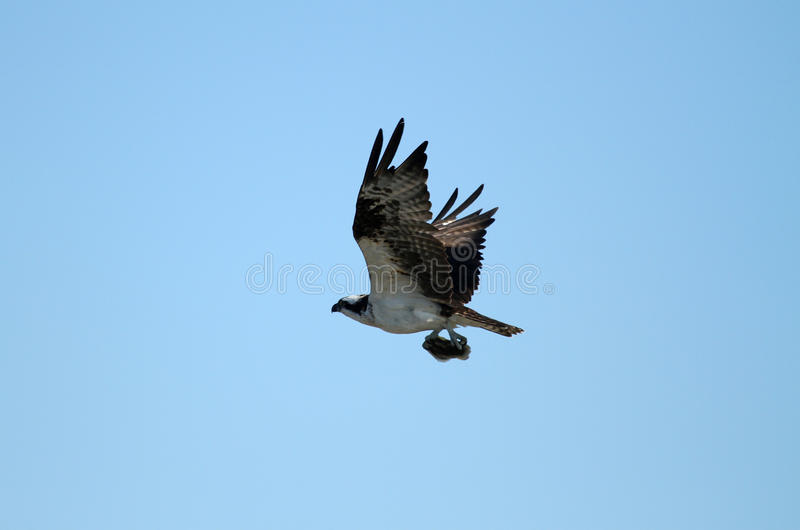 Osprey With Fish In Talons Stock Photos