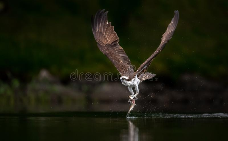 Osprey Fishing in Maine royalty free stock photos