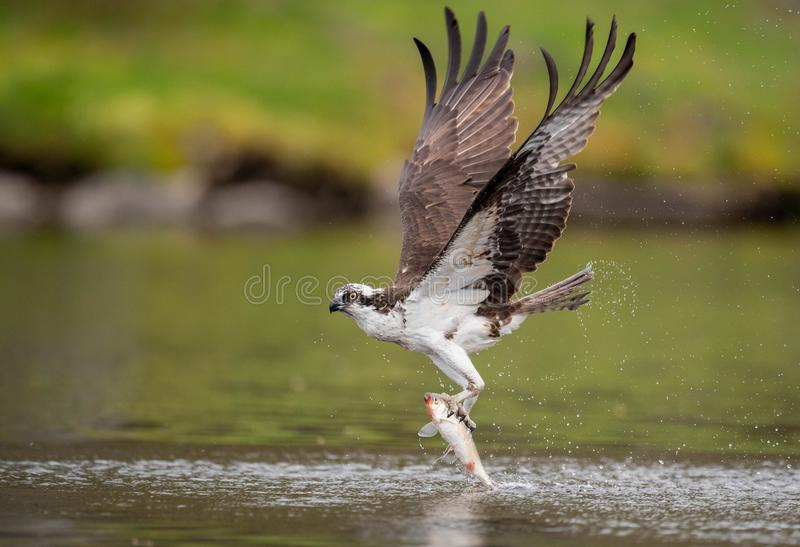 Osprey in Maine. An Osprey fishing in Maine stock photography