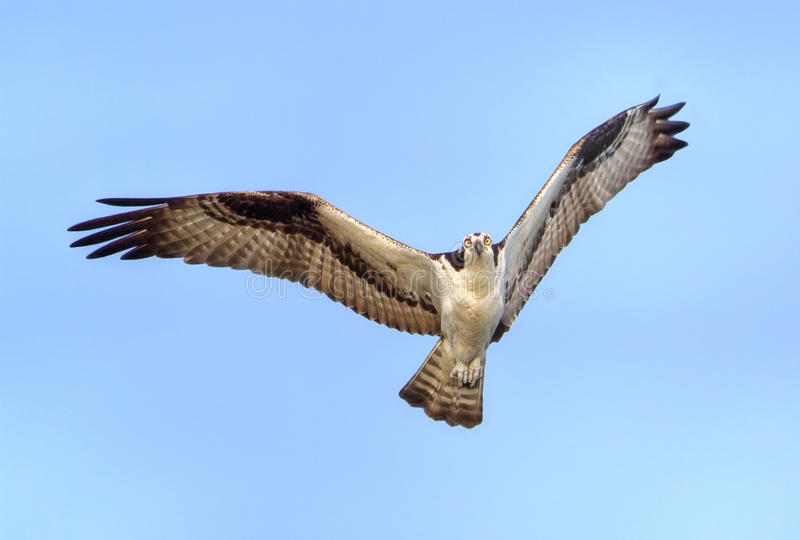Download Osprey In Flight stock photo. Image of feathers, raptor - 13808838