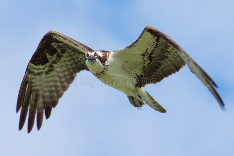 Osprey in flight. royalty free stock photo