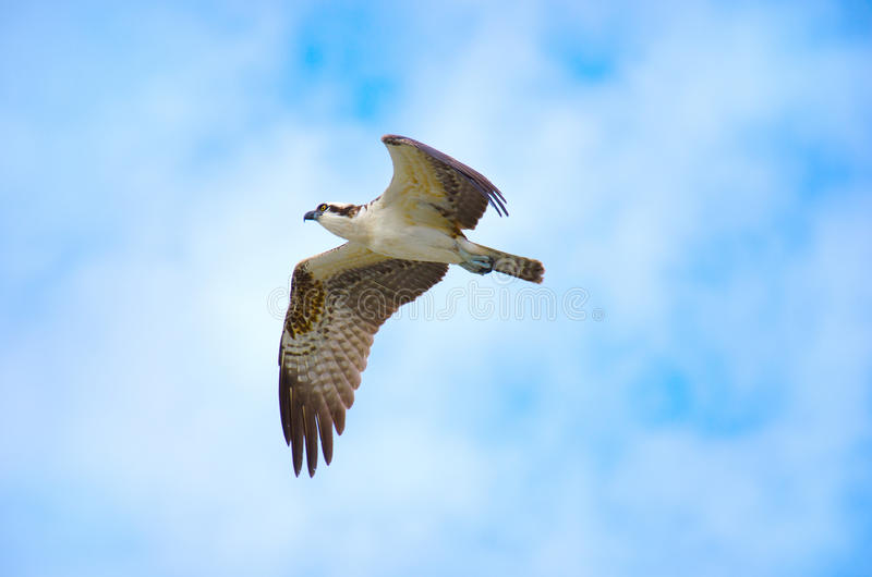 Osprey In Flight Stock Image