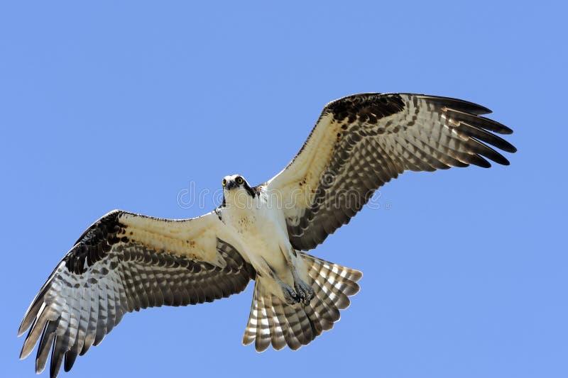 Osprey in flight stock photography