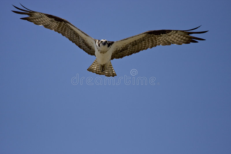 Download Osprey In Flight Royalty Free Stock Image - Image: 5433166