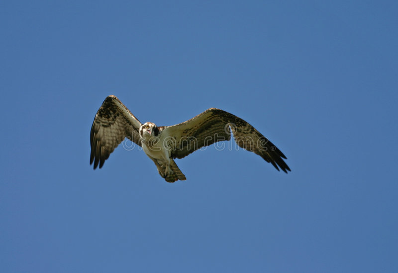 Osprey in flight royalty free stock photography