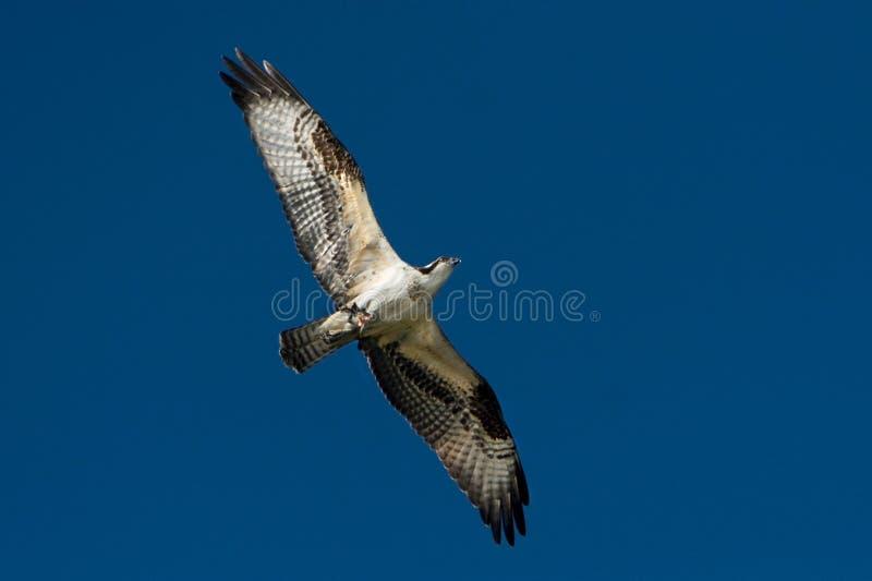 Osprey In Flight. An osprey in flight against a blue sky background royalty free stock image