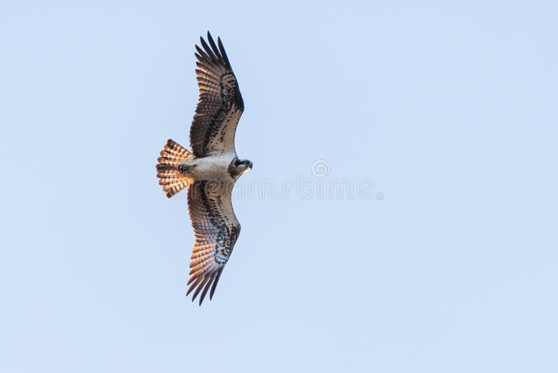 Osprey in flight with blue sky on background stock photography