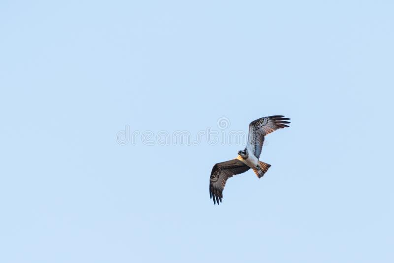 Osprey in flight with blue sky on background royalty free stock image