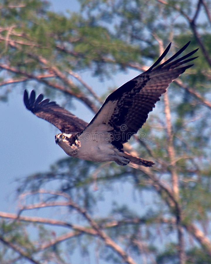 Osprey Flying above the Tombigbee River - Alabama. Ospreys, also known as `fish hawks` frequent freshwater, brackish and saltwater areas. Like Bald Eagles, they royalty free stock photography