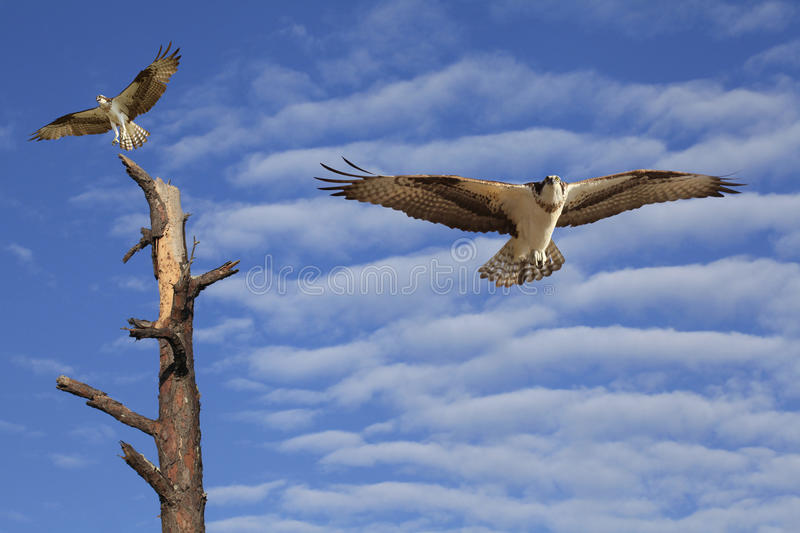 Download Osprey Flying In A Beautiful Cloudy Sky Stock Photo - Image: 31572280