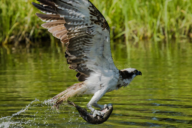 Osprey flying with a big fish. Osprey flying with a fish caught from a lake royalty free stock photography