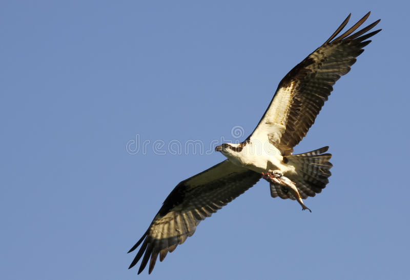 Download Osprey Flying With Fish In Talons Stock Photo - Image: 18434394