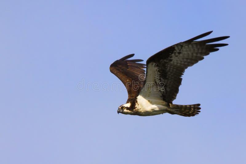 Osprey-Gleiten stockfotos